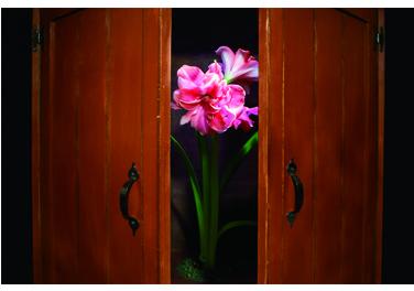 黃孟雯在櫃子中栽種孤挺花,以影像記錄開花過程,象徵在不友善環境下仍勇敢做自己的同志。 圖╱黃孟雯提供
